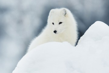 Save the Artic Fox